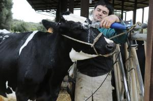 Peladores de vacas en la finca Algendar d'en Gomila.