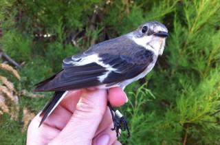Foto Societat Ornitològica de Menorca
