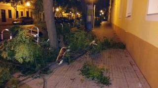 Ramas caídas en la avenida Constitució de Ciutadella. FOTO.- J.M.