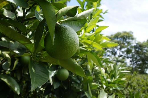 Pese a su avance, la agricultura ecológica en Menorca está un poco verde respecto al resto de la oferta