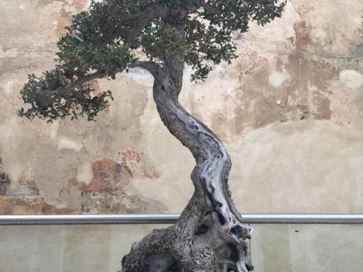 (Fotos) Los bonsais toman Ca n'Oliver