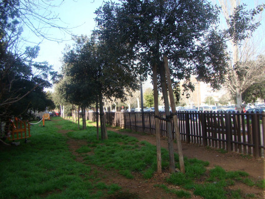 (Galería de fotos) Maó sustituye los árboles muertos en un aparcamiento de Vives Llull