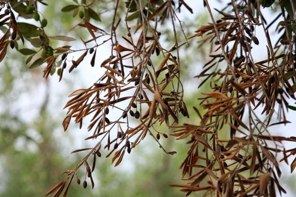 El olivo es una de las especies amenazadas.