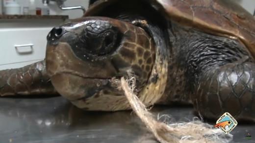 Uno de los ejemplares de tortuga tratados en el centro.