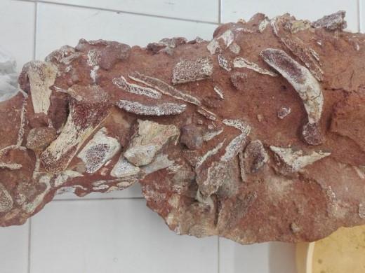 Menorca recupera su colección de fósiles más preciada