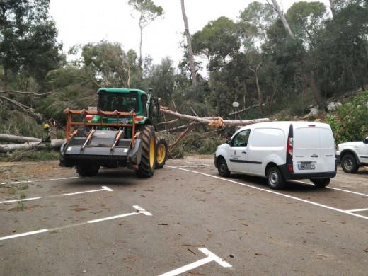 """(Galería de fotos) Los tres """"caps de fibló"""" arrasaron cerca de 3.000 árboles en Ciutadella"""