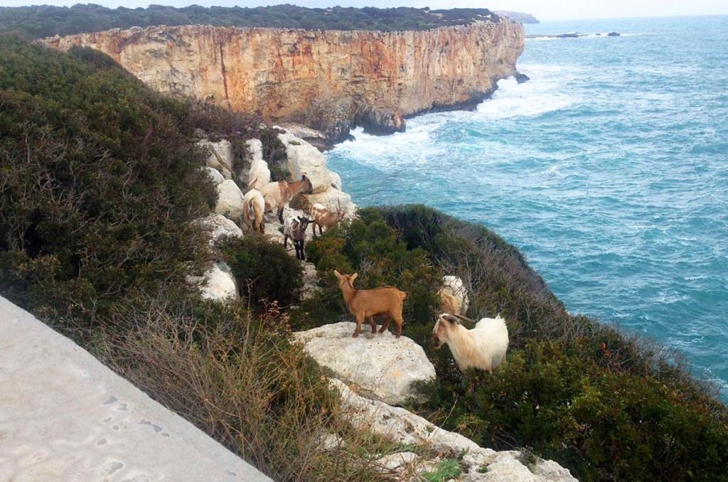 La crisis de las cabras.