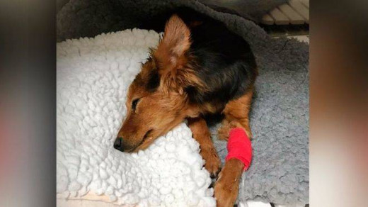 Imagen de la perra herida (Foto: mallorcadiario.com)