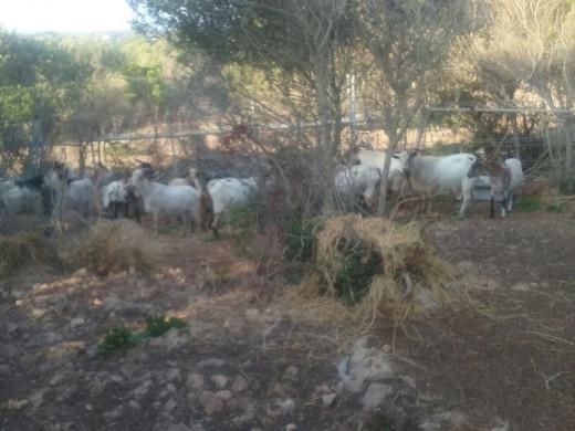 (Fotos) Trasladan a las cabras asilvestradas de s'Algar