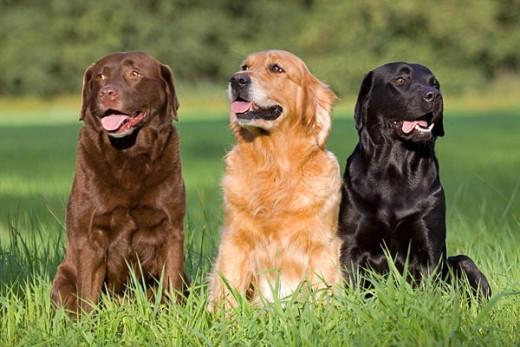 Tres perros labradores (Foto: Mascotafiel)