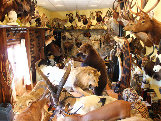 (Fotos) La Guardia Civil se incauta de 69 trofeos de caza de especies protegidas