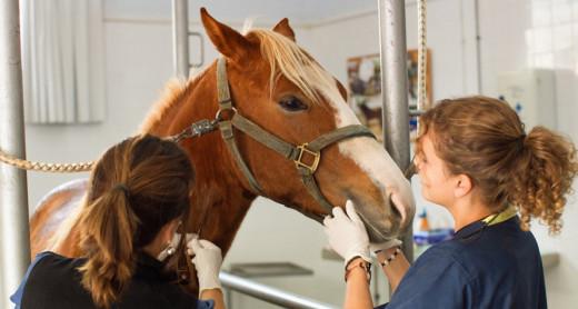 Veterinarias atienden a un caballo.
