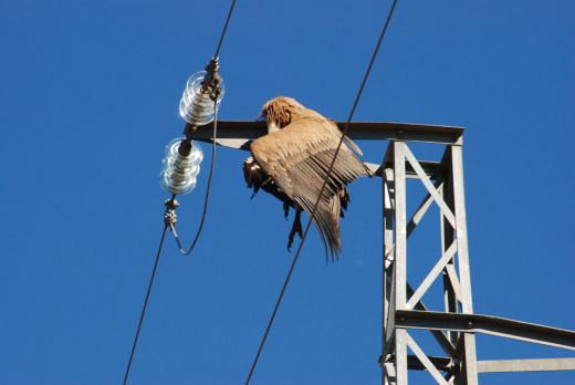 El estudio del Consell pretende detectar los puntos peligrosos para las aves del tendido eléctrico para arreglarlos.