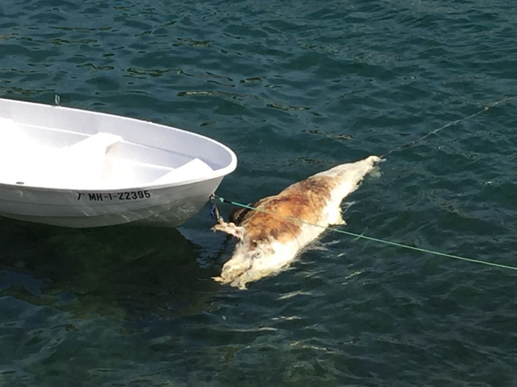 Delfín muerto en Cala Sant Esteve
