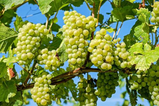 Ha llegado el momento de pisar la uva