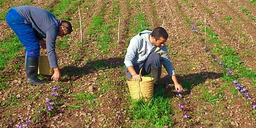 iSafra cultiva azafrán en la finca Santa Margarita de Es Mercadal (Foto web iSafra)