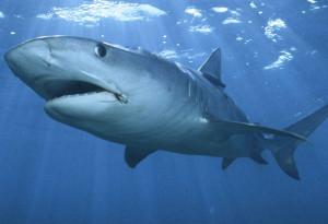 Imagen del tiburón blanco.