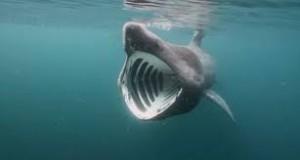 Imagen de un tiburón peregrino.
