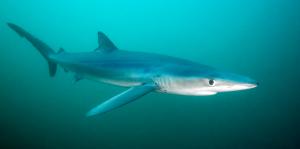 tintorera-tiburón-azul-2