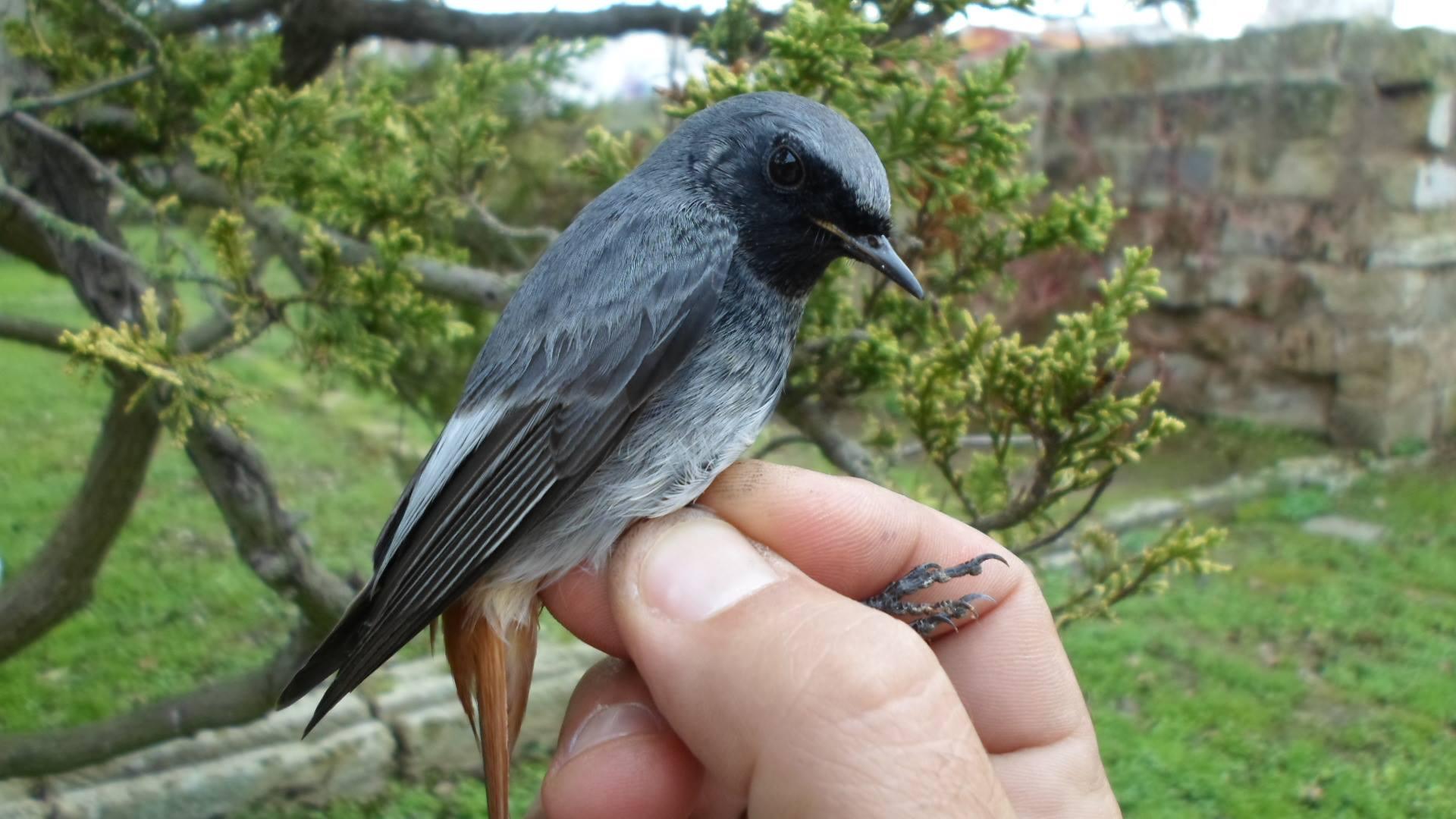 Foto Societat Ornitològica de Menorca.