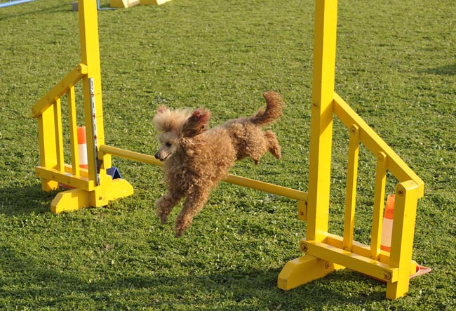 campeonato de agility de perros
