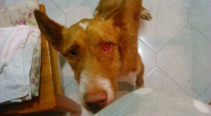 El perro Trastu es uno de los protagonistas del resumen 2014 de la Protectora d'Animals de Ciutadella.