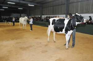 Imagen de las tres vacas finalistas para el título de Gran Campeona