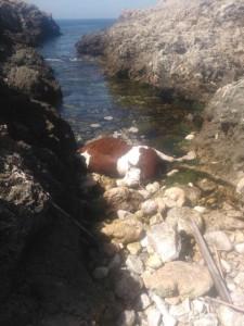 La vaca en Punta Nati