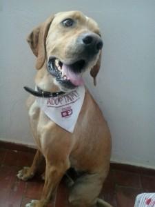 Yaki. Pointer de 2 años. Fotos: Protectora d'Animals de Ciutadella.