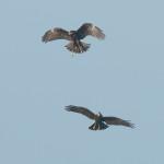 Dos ejemplares del en el cielo de Son Bou.- Foto.- Joan Florit