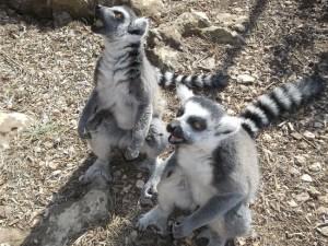 Lemures del 'Lloc de Menorca'.- FOTO.- Tripadvisor