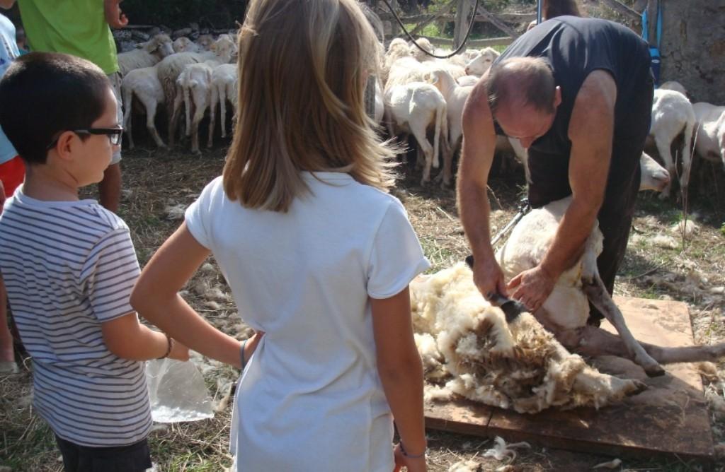 El trasquilador profesional Carlos Vélez quitando la lana a los corderos. Foto: Parc Natural de s'Albufera des Grau.