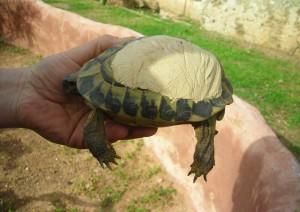 Tortuga del Centre de Recuperació de Fauna Silvestre de Menorca accidentada en su caparazón. Fotos: Joaquim Soler.