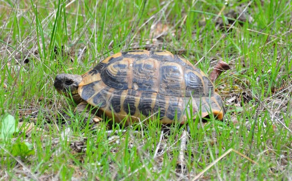 Foto exemplar tortuga (Joaquim Soler)