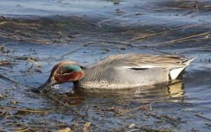 Una de las aves que pueden verse en el Parc. Foto: Parc Natural de s'Albufera des Grau.
