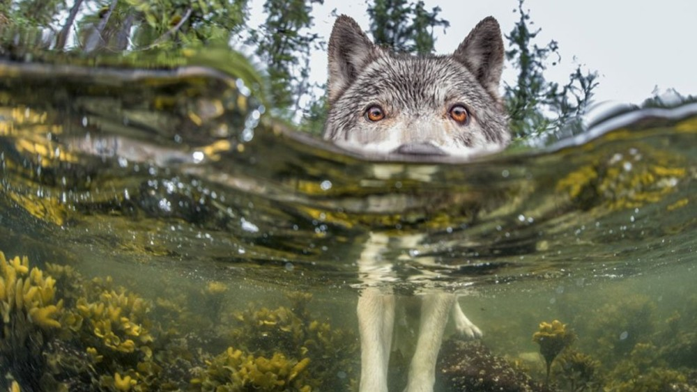 'Something's Fishy'. British Columbia (Canadá). Foto: Ian Mcallister.