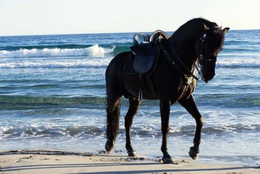 El caballo menorquín destaca por su porte