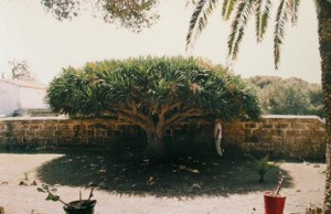 Drago de l'illa del Llatzaret. Foto: CAIB.