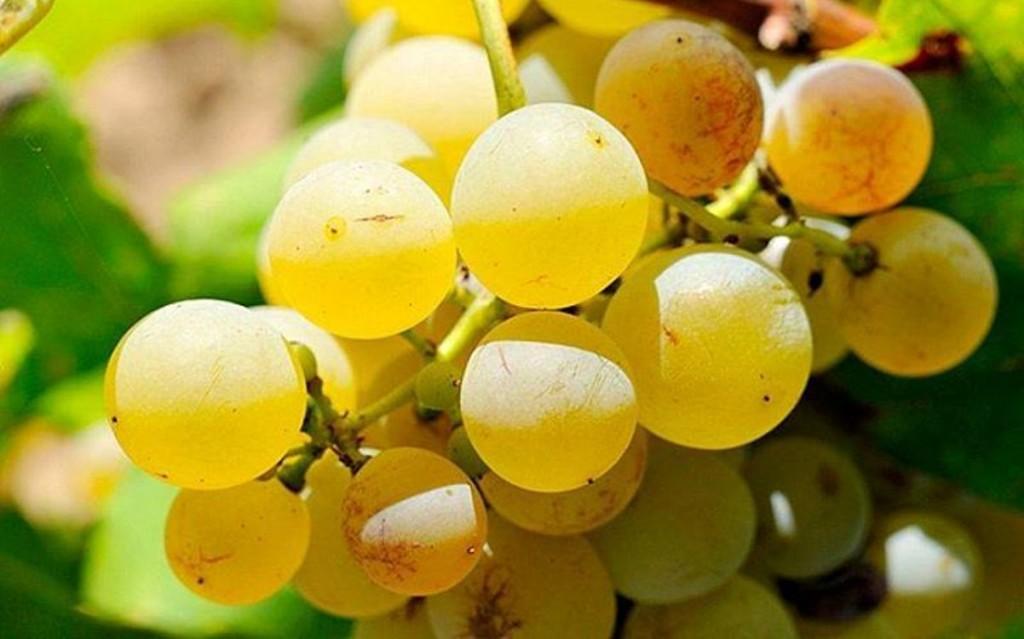 El vino blanco de Binitord fue uno de sus dos caldos con medalla de oro.