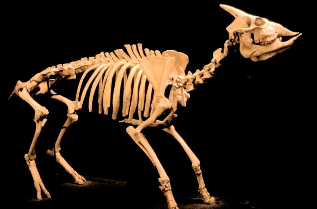 El myotragus balearicus era un pequeño herbívoro que habitó las islas hacia el 2500 a.C.
