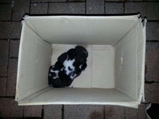 Los siete gatitos en la caja en la que fueron abandonados. Foto: Protectora d'Animals de Ciutadella.