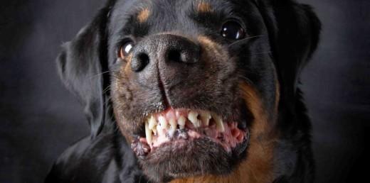 Imagen de un Rottweiler.