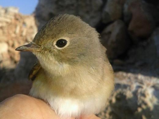 (Fotos) 1.152 ejemplares de 32 especies de ave anilladas en l'Illa del Aire