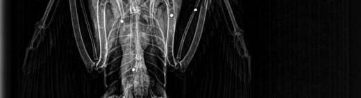 Radiografía del halcón herido.