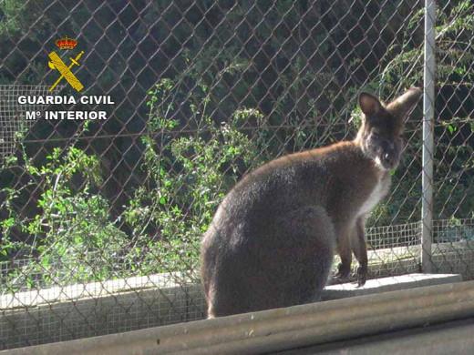 (Fotos) Incautan un mono capuchino, cinco mangostas y tres tortugas en un núcleo zoológico