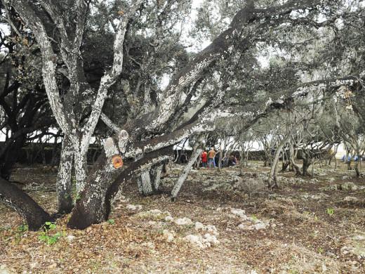 Maó recupera un pinar situado ante los institutos Cap de Llevant y Pasqual Calbó
