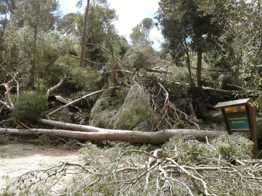 Arboles caídos en una de las zonas afectadas por el cap de fibló (Fotos: Ibanat)