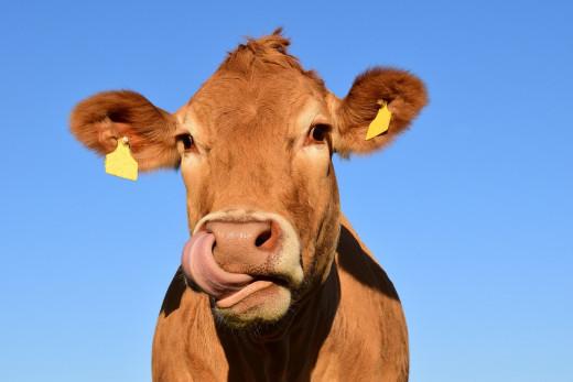 La tecnología llega a las vacas