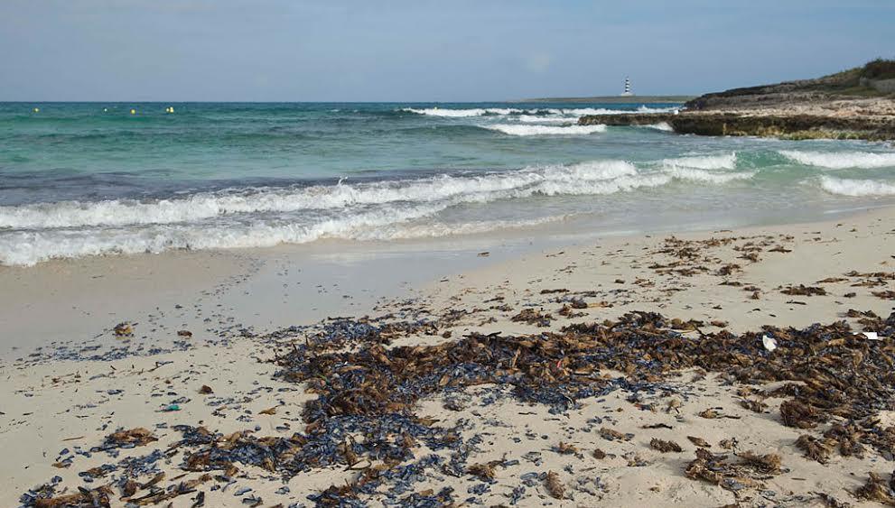Imagen de la playa de Punta Prima llena de velella (Fotos: David Arquimbau)
