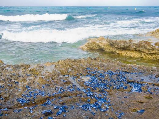 """(Galería de fotos) La playa de Punta Prima, plagada de """"velellas"""""""